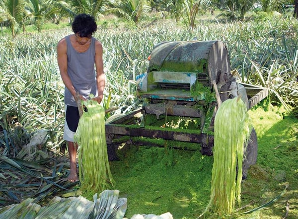 extraction of Pineapple Leaf Fiber